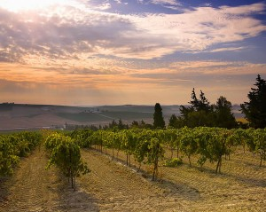 vineyards3